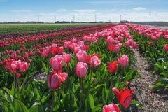 Покрашенное поле шариков цветка в провинции северной Голландии Стоковые Изображения RF