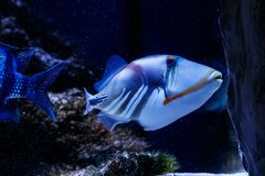 Покрашенное рыбами aculeatus Rhinecanthus Triggerfish стоковое изображение