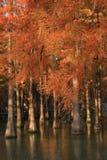 Покрашенное forestMetasequoia воды красное, страна стоковые фото