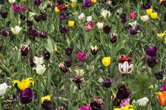 Покрашенное multi тюльпанов Стоковые Изображения