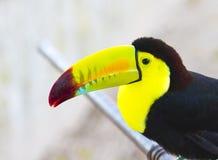 Покрашенное Toucan. Toucan представленное счет килем Стоковое Изображение