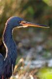 покрашенное tricolor цапли egretta tri Стоковая Фотография