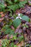 Покрашенное undulatum trillium trillium стоковые фотографии rf