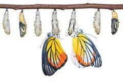 Покрашенные бабочки hyparete Jezebel Delias Стоковая Фотография RF