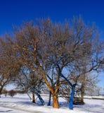 Покрашенные деревья в кровати снега Стоковое Изображение RF
