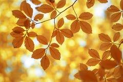 Покрашенные золотом солнечные листья осени Стоковые Фото