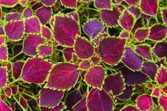 Покрашенные лист крапивы Стоковое Изображение