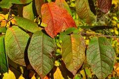 Покрашенные листья осени вишни птицы backhander стоковые фото