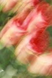 покрашенные розы Стоковое Изображение RF