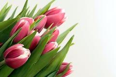 покрашенные тюльпаны Стоковое Изображение RF