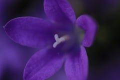 Покрашенные фиолетом колокольчики колокольчика стоковая фотография rf