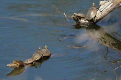 Покрашенные черепахи грея на солнце на журналах Стоковые Фото