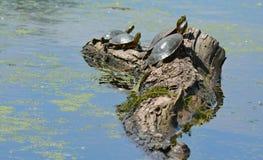 Покрашенные черепахи грея на солнце на пне Стоковые Изображения