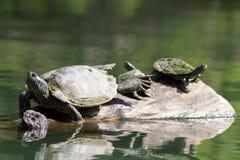 Покрашенные черепахи грея на солнце Стоковые Изображения RF