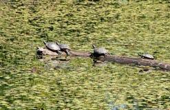 Покрашенные черепахи грея на солнце Стоковые Фото