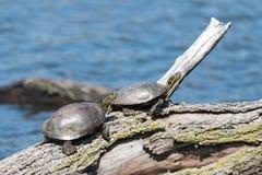 Покрашенные черепахи на журнале Стоковая Фотография RF