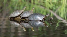 Покрашенные черепахи на журнале Стоковое фото RF