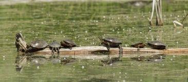 Покрашенные черепахи на журнале Стоковое Фото