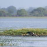 Покрашенный аист в лагуне залива Arugam, Шри-Ланке Стоковые Фото