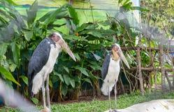 Покрашенный аист в зоопарке Стоковые Изображения