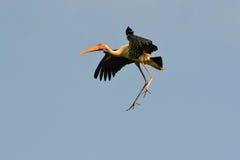 Покрашенный аист в midair (leucocephalus Ibis) Стоковое фото RF
