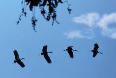 покрашенный аист летая Стоковая Фотография