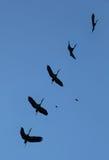 покрашенный аист летая Стоковые Фотографии RF