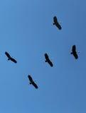 покрашенный аист летая Стоковая Фотография RF
