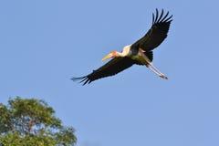 Покрашенный аист летая (leucocephalus Ibis) Стоковое Изображение RF