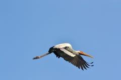 Покрашенный аист летая (leucocephalus Ibis) Стоковые Фотографии RF