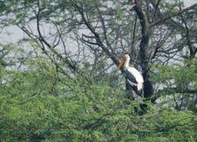 Покрашенный аист садить на насест на дереве Стоковые Изображения