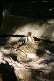 покрашенный аист Стоковая Фотография RF