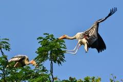Покрашенный аист (leucocephalus Ibis) Стоковая Фотография RF