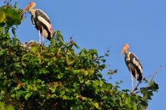 Покрашенный аист (leucocephalus Ibis) Стоковое Изображение RF