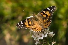 покрашенный вербейник повелительницы gooseneck бабочки Стоковая Фотография RF
