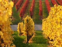 покрашенный виноградник Стоковая Фотография
