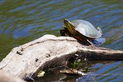 Покрашенный греть на солнце черепахи Стоковое Изображение