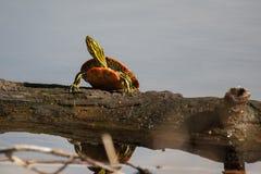 Покрашенный греть на солнце черепахи Стоковые Изображения