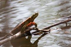 Покрашенный греть на солнце черепахи Стоковая Фотография