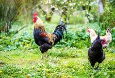 Покрашенный здоровый петушок идя на зеленую траву Птица fa концепции Стоковая Фотография RF