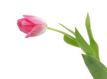 покрашенный изолированный симпатичный тюльпан весны Стоковые Изображения RF