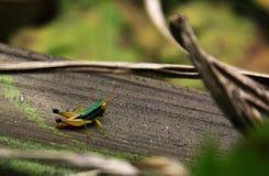 Покрашенный кузнечик в тропическом лесе Стоковое фото RF