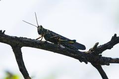 Покрашенный кузнечик саранчи на ветви Стоковое Изображение RF