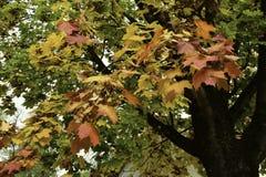 покрашенный клен листьев Стоковая Фотография