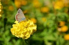 Покрашенный нектар цветка питья бабочки Лето, день, бабочка Стоковое Изображение