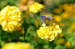 Покрашенный нектар цветка питья бабочки Стоковое Изображение RF