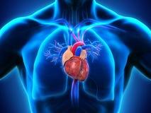 покрашенный оригинал иллюстрации сердца руки анатомирования людской Стоковое Изображение