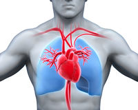 покрашенный оригинал иллюстрации сердца руки анатомирования людской Стоковая Фотография RF