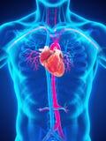 покрашенный оригинал иллюстрации сердца руки анатомирования людской Стоковые Изображения RF