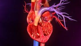 покрашенный оригинал иллюстрации сердца руки анатомирования людской стоковые изображения